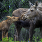 Momma Moose and calf