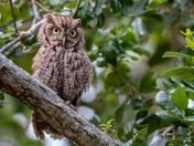 Eastern Screech Owl 2 - John D. MacArthur Beach State Park