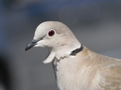Collared Dove Close Up