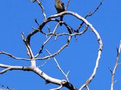 Bird singing on a naked tree