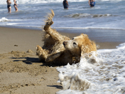 Beach loving Golden Retriever