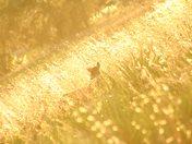 The Golden Deer