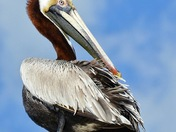 Pelican Peace