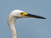 Egret focused on the fishermen's bait bucket