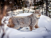 Wildlife Winner - Denali Lynx