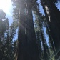 Giant Sequoias at North Grove Trail in Calaveras Big Tree State Park, California