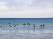 Blue Pelicans