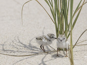 piping plover juveniles