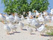 Squawking Terns