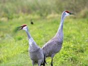 Sandhill Cranes, Mates for Life