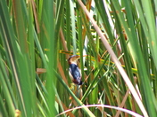 Least Bittern in the Weeds