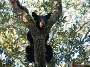 2 Yr. old Florida black bear cub