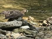 Hawk swoops