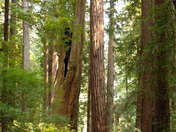 Redwoods at trillium Falls Trail