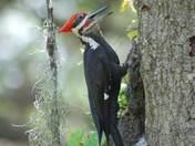 Male Piliated woodpecker