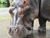 The Oldest Hippo in North America