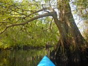 Kayaking thru cypress forest