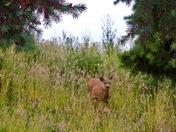 Deer Passing By