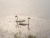 Swan pair swimming in rain