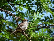 Chipping Sparrow Sunning