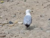 Lake Seagull