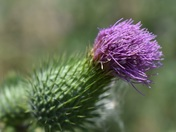 Thistle in the Wind