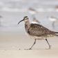 Whimbrel Bird Walking on Beach