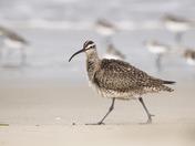 Whimbrel Bird Walking on Beach