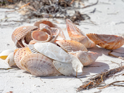 Shelling on Anclote Key
