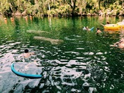 Swimming with Manatees and their baby!