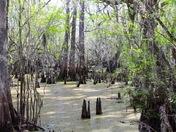 Swamp Serenity