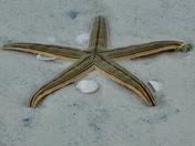 I SEA STARS