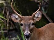 Myakka Buck