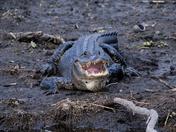 Blue Spring King Gator