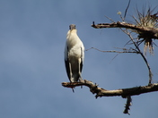 Wood Stork Eyes..