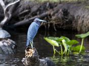 Regal Little Blue Heron