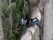 'Snake' Bird, Male Anhinga