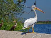 Whit Pelican