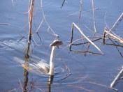 Anaringa bird catches fish.