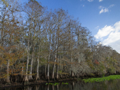 Bald Cypress Trees at Manatee Springs State Park