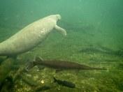 Manatee and Gar and Catfish