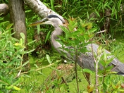 Saint Andrews Egret