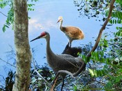 Sandhill Crane Vacation