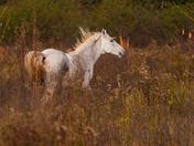 Wild Horses of Paynes Praire