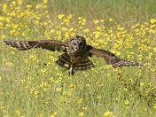 Barred Owl In The Field Of Yellow Flowers