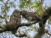 Second Place Winner - Owl Love In Myakka