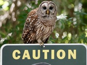 Barred Owl Alligator Warning