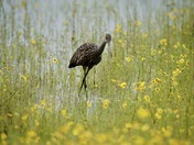 LIMPKIN IN THE FIELD OF YELLOW FLOWERS