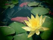 Lily Beauty