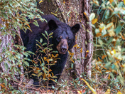 Curious Black Bear